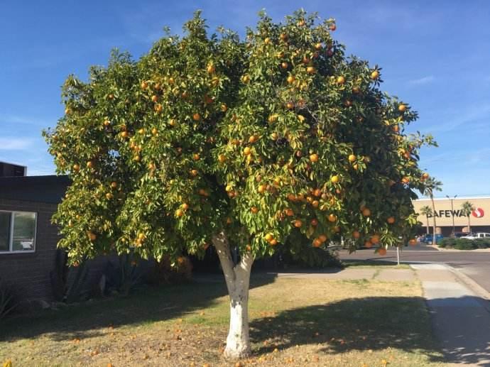 奈树香儿_橘子树